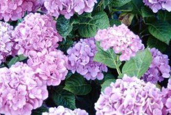 Houer tuinmaak met hortensia