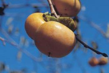 Hoeveel sade is in `n persimmon vrug?