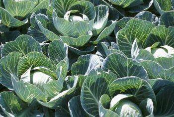 Die biodynamiese Franse intensiewe metode om groente te verbou