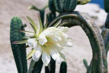 Hoe om te landskap met kaktus