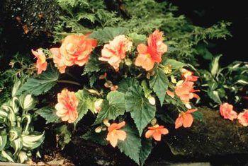 Grys vorm op begonias