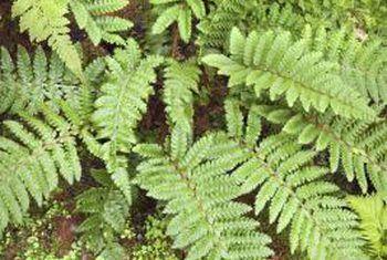 Hoe vorm saadlose plante nuwe plante?