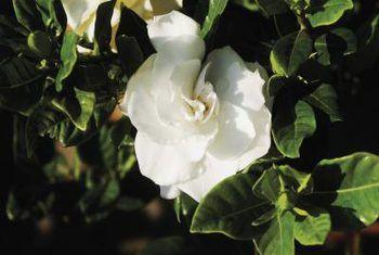 Hoe om `n Gardenia Veitchii binne te laat groei