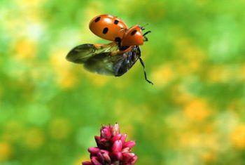 Is lieveheersbeestjes skadelik vir hibiscus?