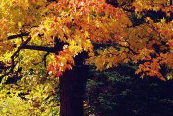 Tegnieke om esdoornboompeule te beheer