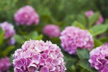 Pienk hortensia-variëteite