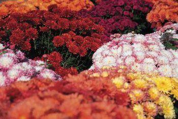 Hoe om `n kussing-chrysant te plant