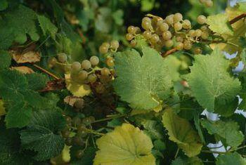 Die beste manier om plante van witluise te verwyder