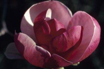 Boom blomme wat lyk soos die pienk magnolia boom