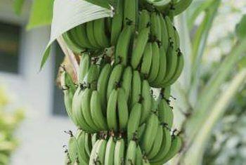 Hoe om piesangplante in die herfs te red