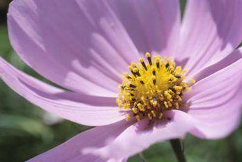 Die klein liggaam in saaddraende plante wat die vroulike voortplantingselle bevat