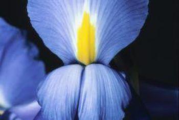 Winter sorg vir Japannese iris
