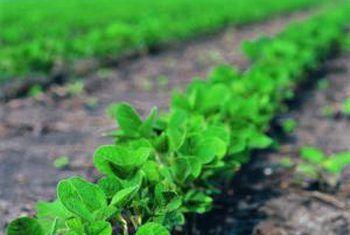 Hoe om sojabone te groei en saailinge te begin buitenshuis