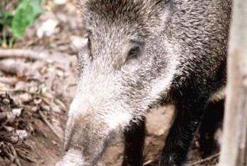 Wat is wilde varke wat in grasperke opgrawe?