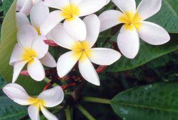 Hoe om plumeria frangipangi of pua melia uit sade te groei