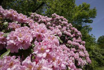 Sooty-vorm veroorsaak deur witvlieë op rododendron-stamme