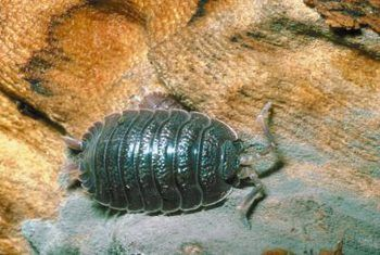 Roly poly bug feite
