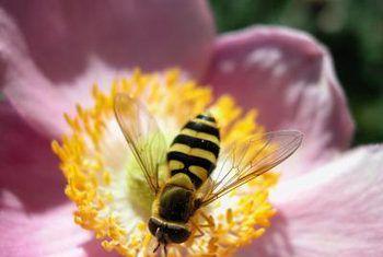 Wat is die verskil tussen bestuiwing en bevrugting in blomplante?