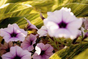 Wat is die habitat van `n petunia?