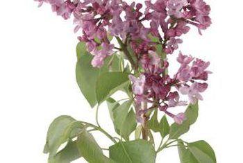 Wanneer moet kalsiumsulfaat aan lila bome toegedien word?