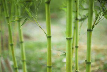 Wat om bamboes te voed