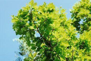 Hoe om die hout van kastaiing-eikebome te gebruik
