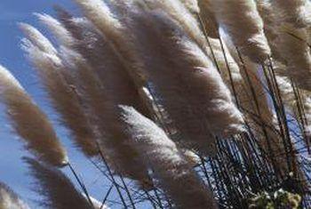Sal die pampas gras vermoor word?