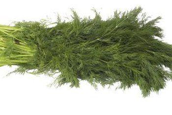 Wat is umbelliewe plante met groen-wit blomme en aromatiese vrugte?